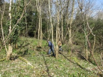 sycamore saplings need to be thinned in this glade. JPG