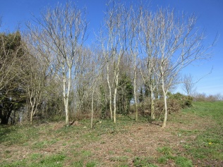 ash saplings thinned out