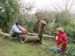 felling a sycamore - creating new seating for a picnic area