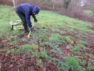 forking out spear thistle