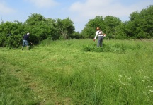 controlling non-native and invasive everlasting pea in grassland by mowing