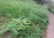 a few more wild radish plants grubbed out