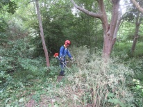 brush cutting hogweed and cow parsley