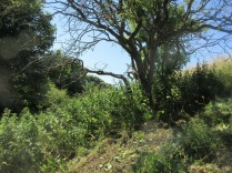 nettles dominate the vegetation in the shade of trees