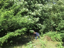 nettles remaining after scything are pulled by hand