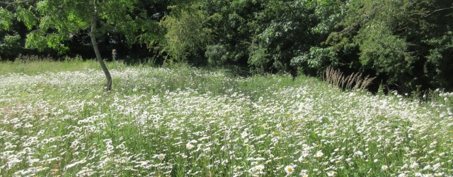 Ox-eye daises 6 June Dial Hill