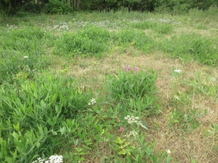 controlling everlasting pea in grassland is an ongoing challenge