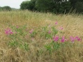 non-native everlasting pea invading grassland