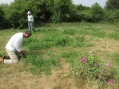 pulling everlasting pea in mown grassland