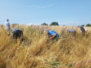 pulling rose bay willow herb from grassland