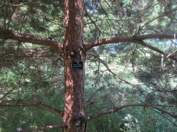 Scots Pine with label