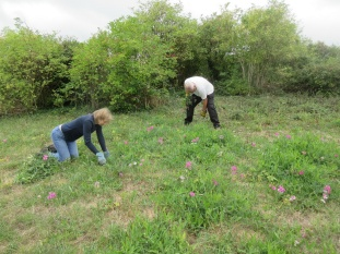 pulling out everlasting pea