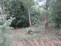 the woodland glade cleared of invasive species