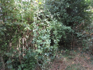 brambles growing in the hedge