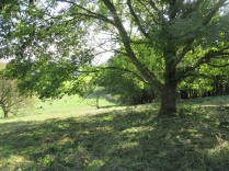 ash tree overlooking the cricket pitch