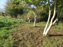 brush cutting around 2 young walnut trees