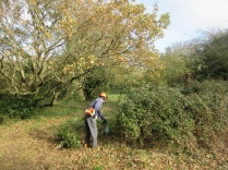 cutting back an old patch of bramble using a hedge trimmer