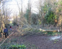 sycamore felled, ready for cuttng up
