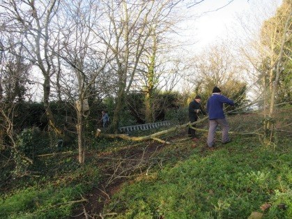 tree thinning - felling sycamore