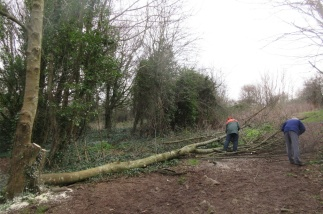 cutting up a felled sycamore trunk