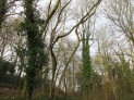 dead and leaning ash trunks to be felled