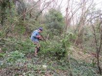 clearing holm oak