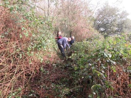 cutting bramble to restore access along a woodland trail