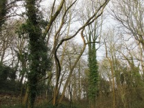 dead and leaning ash trunks awaiting felling