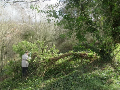 removing the fallen section of an ivy-clad hawthorn