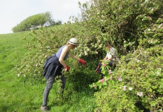 freeing an old apple tree from brambles