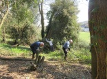 non-native holm oak is felled to allow in more sunlight