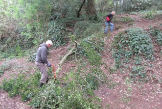 a felled holm oak sapling is cut up and the brash removed