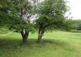 rank vegetation under hawthorn trees is cut and raked off