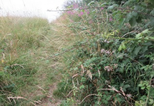 bramble shoots encroaching over the informal path