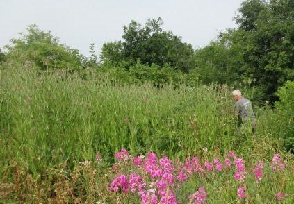carefully pulling everlasting pea plants from among the teasles
