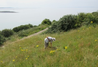 forking out ragwort on Wain's Hill
