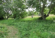 mowing under the walnut trees to control nettles