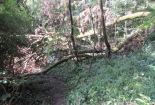 a large fallen ash blocking the trail