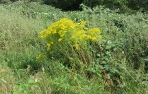 a single, multi-stemmed ragwort plant