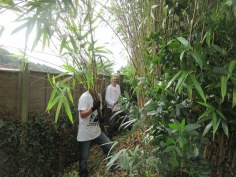 cutting back bamboo