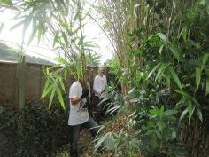 cutting back bamboo