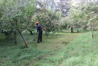 strimming the orchard floor