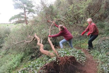 removing an old fallen blackthorn