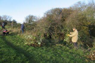 disentangling brambles from a hawthorn bush