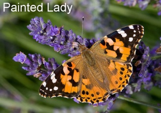 painted lady with text