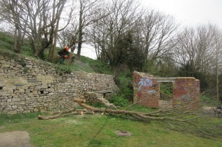 2 sycamores felled