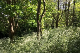 cow parsley in Church Hlll woodland glade