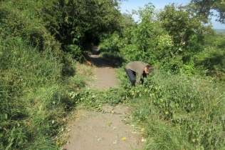 nettles overhanging the path are forked or pulled out