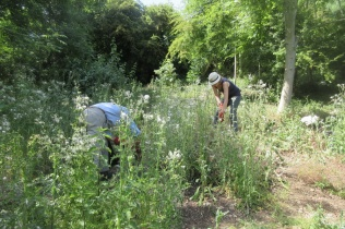 pulling prickly sow thistle