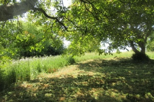vegetation under the two walnut trees mown and raked